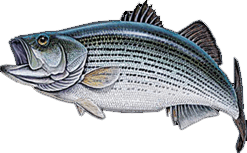 Catch your next Block Island striped bass on Fish Trap.